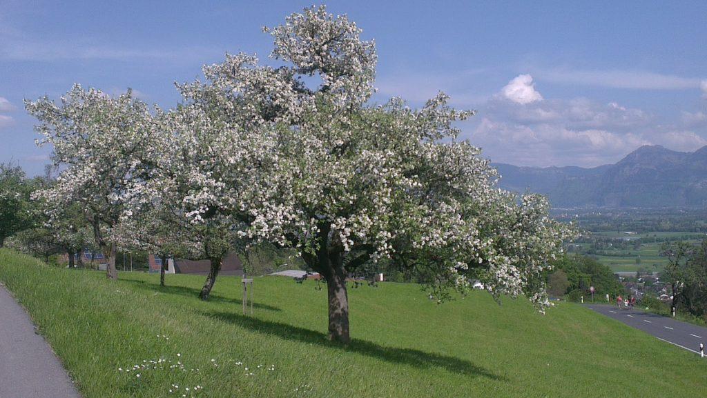 Altstätten Baum